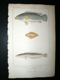 Cuvier C1835 Antique Hand Col Print. Anabas, Ployacanthus, Ophincephalns Fish #46